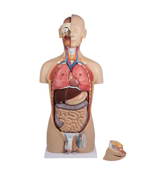 Anatomisk modell Torso med åpen rygg begge kjønn